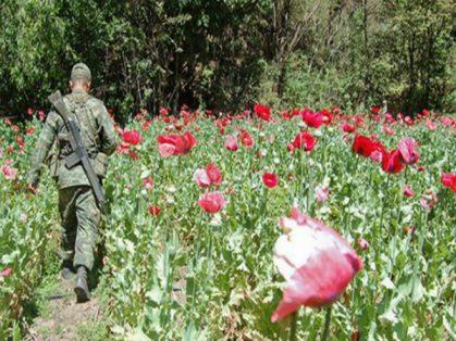 PGR destruye plantíos de amapola en Jalisco