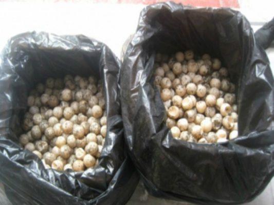 Destruyen casi dos mil huevos de tortuga decomisados en Guerrero