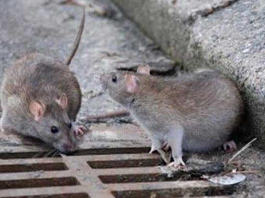 Reportan 6 niños mordidos por ratas en un edificio en Miami