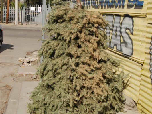 Recolectarán pinos hasta el 15 de febrero