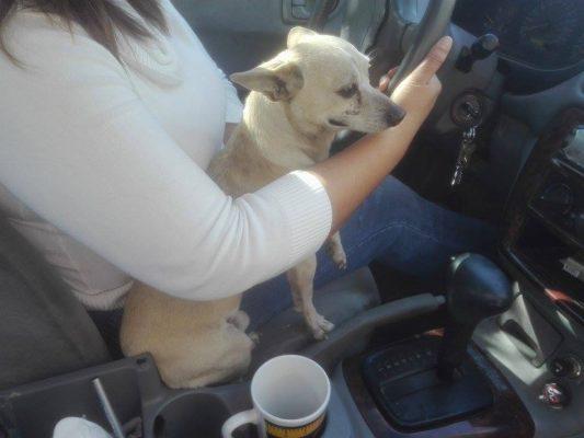 Proponen penalizar a conductores con mascotas en el regazo