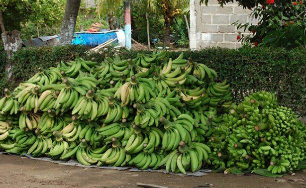 Cambio climático pone en riesgo producción de plátano de la frontera sur