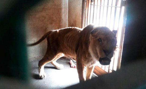 Vejez, causa del grave estado de león en zoo de Guanajuato