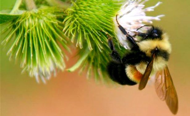 Declaran al abejorro como especie en peligro de extinción en EU