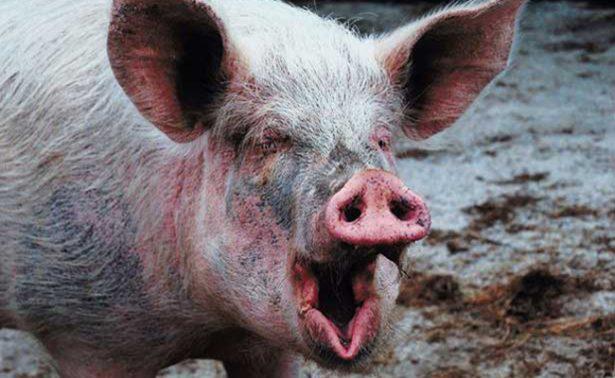 Hombre ebrio pelea con su cerdo y muere por las mordidas