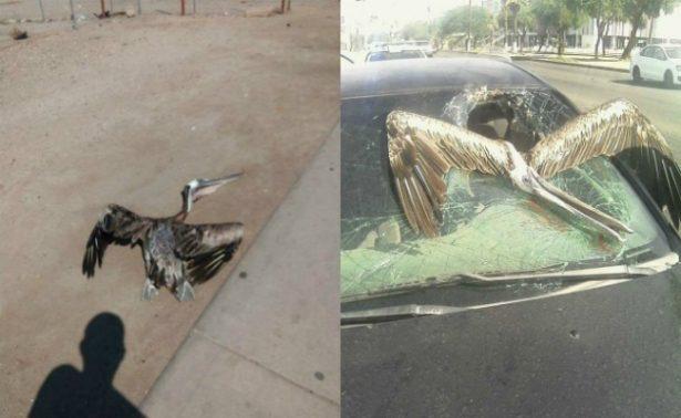 ¡Insólito! Pelícano se estampa contra automóvil en Mexicali