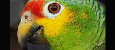 Liberan 244 loros 'cachete amarrillo' en Palenque, Chiapas