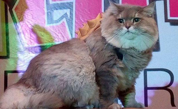Conoce a Bone Bone, el gato gigante de Tailandia