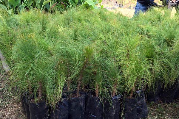 Dispone Ecología de un millón de  árboles para reforestar la Malinche