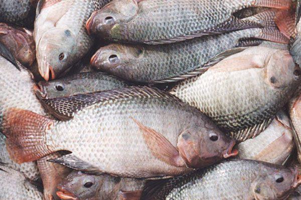 Han comercializado acuicultores 380 toneladas de carpa y tilapia