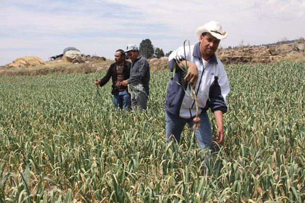 Unos 150 jornales por hectárea se utilizan para sembrar y cosechar ajo en Terrenate. / Tomás BAÑOS