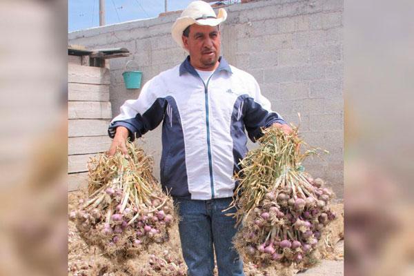 De siete a 10 dientes produce cada cabeza de ajo en San José Villarreal. / Tomás BAÑOS