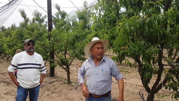 El productor Pablo Lima Romero reveló que, hoy en día, de las aproximadamente mil 500 hectáreas dedicadas a la producción de durazno en Altzayanca, ya solo en unas 200 se produce el Durazno Oro. /Leonel TLALMIS