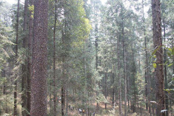 Investigan Inifap y universidades impacto de la biodiversidad por el manejo forestal