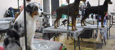 Inicia la Exposición Nacional Canina en Apizaco con 350 perros inscritos