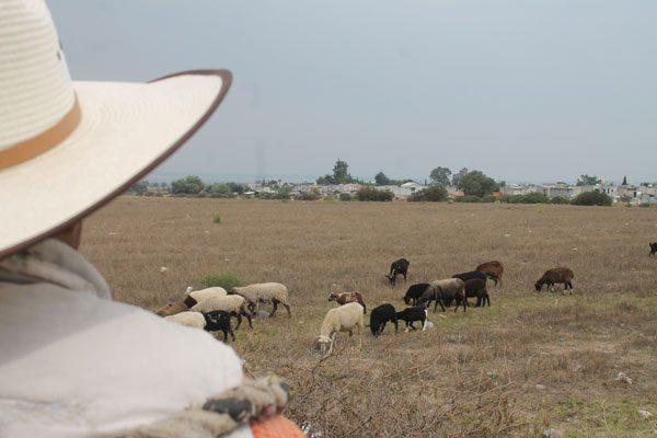 Denuncian que va en aumento robo de ganado en Texoloc