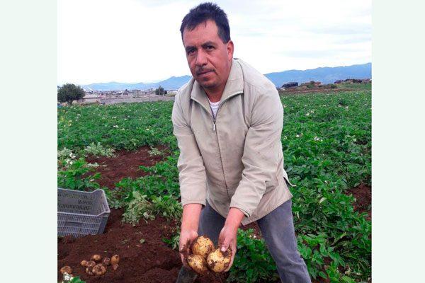 Inician labriegos cosecha de papa en San José Villarreal