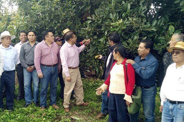 Innova la Sefoa técnica en cultivos de aguacate
