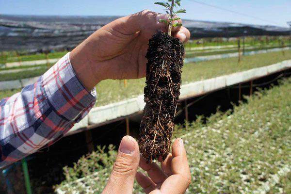 Pretende Conafor alcanzar  producción de 4.5 millones  de árboles en sus viveros