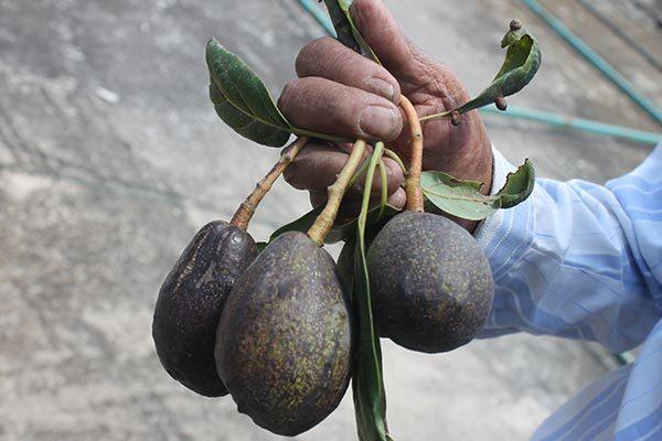 Universidad de Chapingo pretende ingresar cultivo de aguacate criollo en Tetlatlahuca