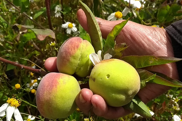 Último corte de variedades de durazno en Tlaxcala. / Tomás BAÑOS