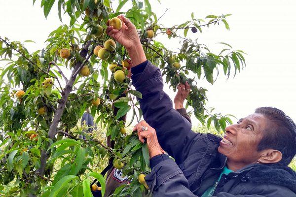Cae 60 % la producción de durazno en 15 municipios de Tlaxcala