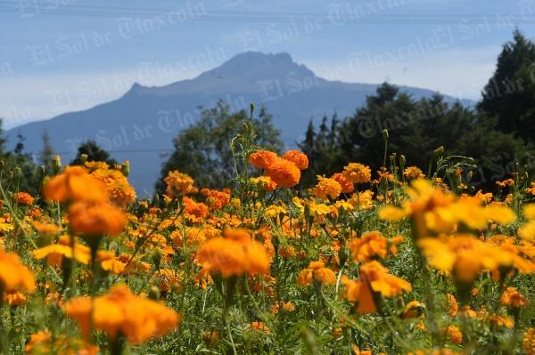 Se prevé incremento en el precio de la flor de Cempasúchil