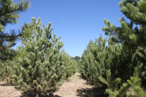 Listos para venta siete  mil árboles de navidad
