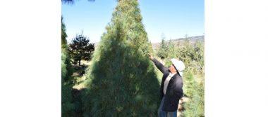 En Tlaxco y Terrenate, listos para  el comercio de árboles de Navidad
