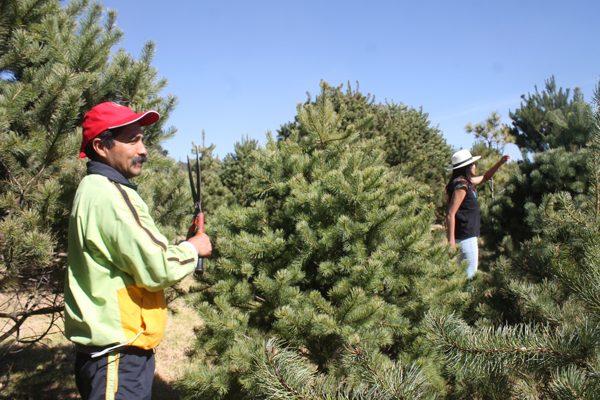 Venta de árboles en  comercios no afecta a  silvicultores: Conafor