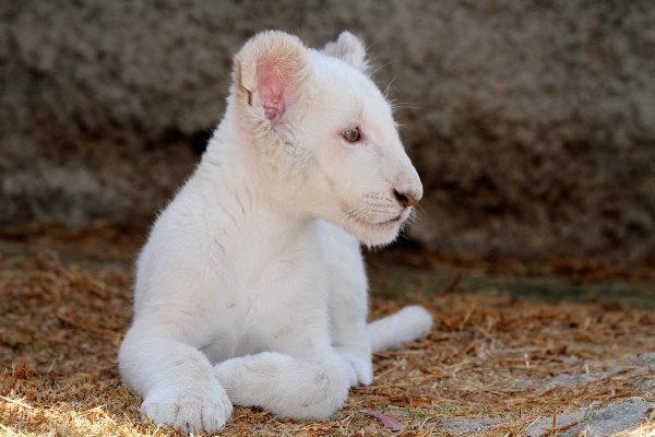 León blanco,  el milagro  de Tlaxcala