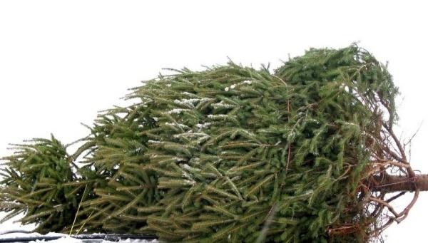 Implementa ayuntamiento de Tlaxcala un Centro de Acopio de árboles de Navidad