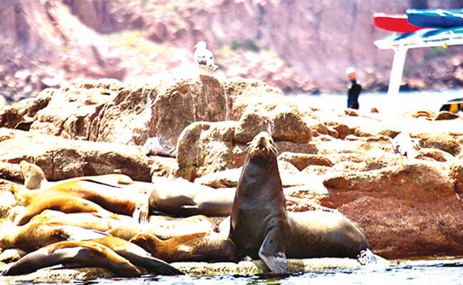 Por ataques de lobos marinos, prohíben nado en playa de BCS