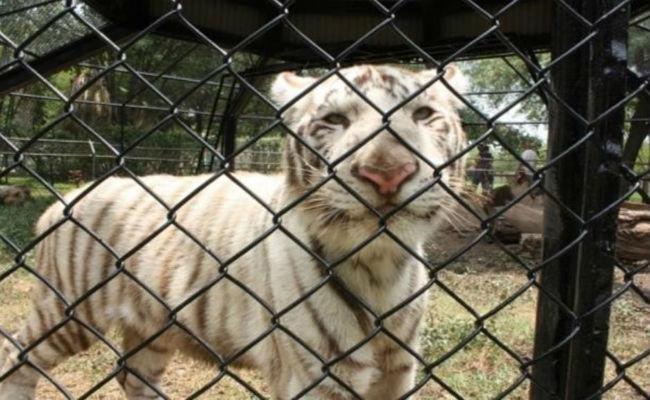 Gignac, el tigre abandonado por su madre, es querido en Monterrey