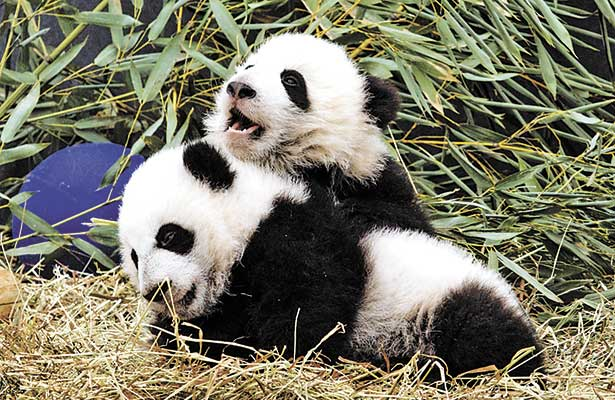 Invade China el mundo con osos pandas