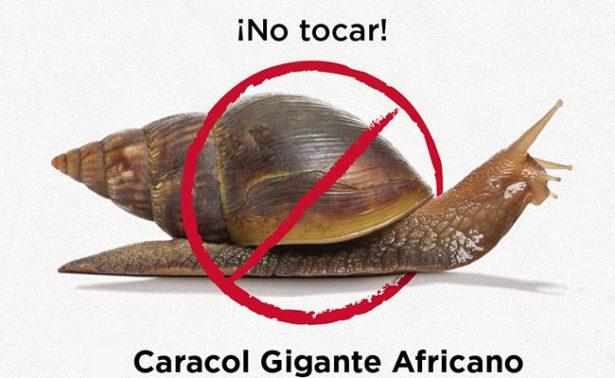 ¿El apocalipsis? Aterra a Perú plaga de caracoles gigantes africanos