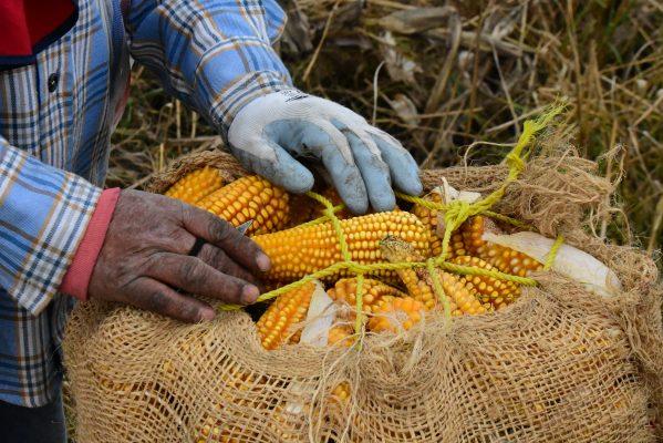Campesinos se apresuran para recolectar su maíz, alimento básico de todos los mexicanos
