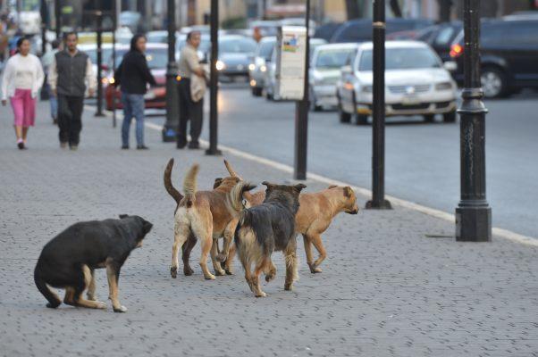 Por casos de ataques de perros callejeros, atiende Ayuntamiento de Toluca recomendaciones de CODHEM