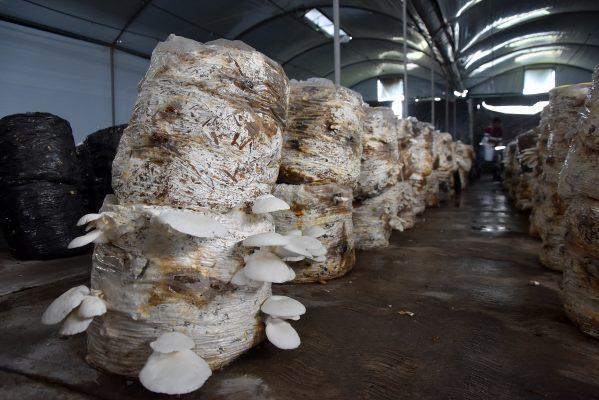 Productores de hongos seta en Ixtlahuaca, los proveedores del alimento del futuro