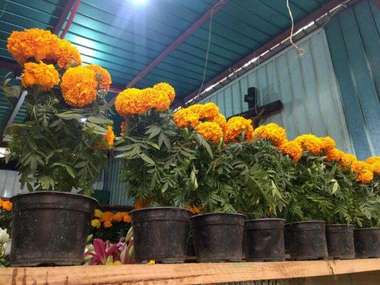 Inicia venta de flor de temporada por Día de Muertos