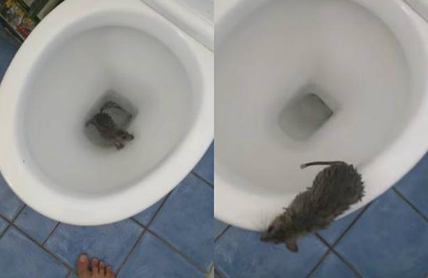 ¡No apto para cobardes! Graban rata saliendo de excusado y se hace viral