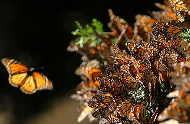 Abren santuarios de la Mariposa Monarca para la temporada 2016-2017
