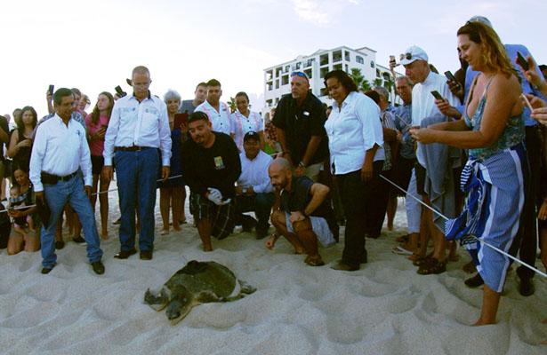 """Liberan a la tortuga golfina """"Bella"""" con transmisor satelital en BCS"""