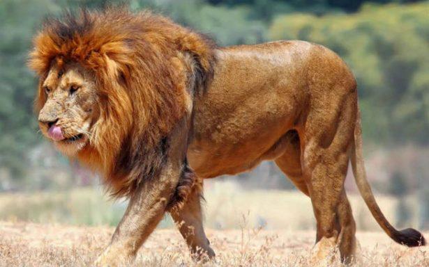 Cazador furtivo es devorado por una manada de leones en Sudáfrica