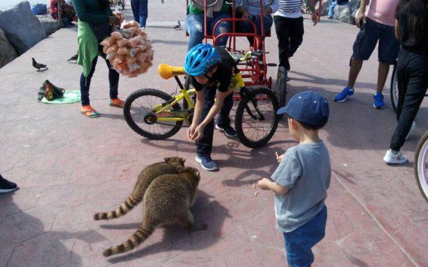 Joven recibirá 14 vacunas contra la rabia por ataque de mapache en playa Miramar