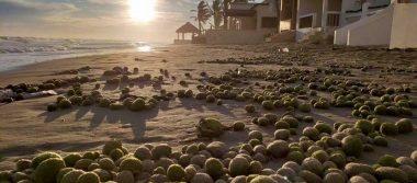 Primero el sargazo ahora estas bolas verdes cubren una playa en Sonora