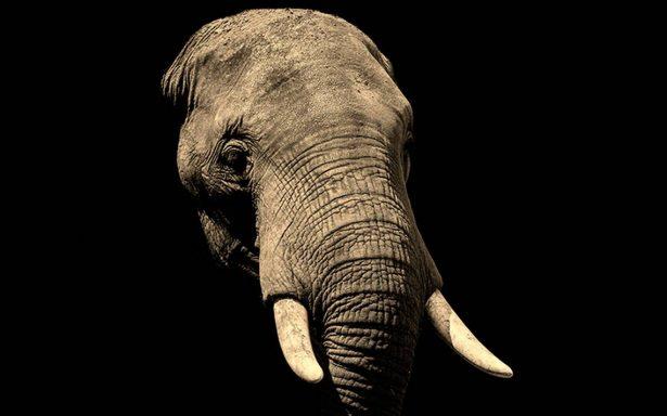 ¿Nuevos vampiros? Elefantes se vuelven noctámbulos para evitar a cazadores