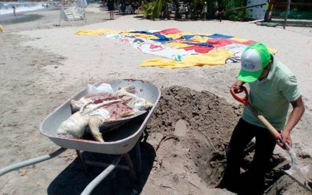Han muerto 16 tortugas en lo que va del año en Zihua