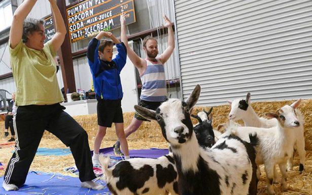 La última moda en relajación: yoga con cabras