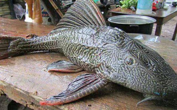 """Aprovechan en filete al pez """"diablo"""", especie que amenaza a la mojarra"""